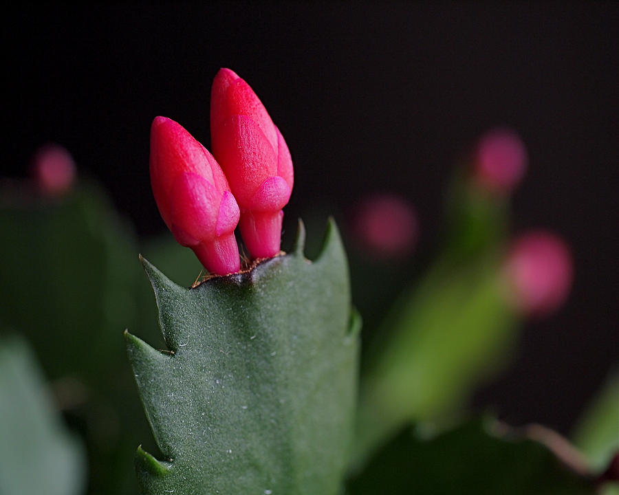 Christmas Cactus Double Joy Photograph  - Christmas Cactus Double Joy Fine Art Print