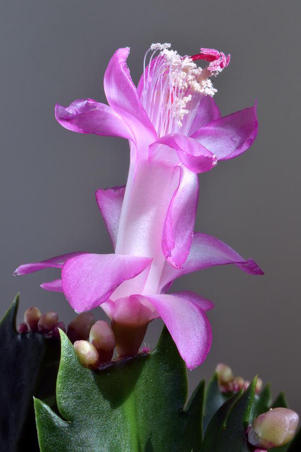 Christmas Cactus Photograph