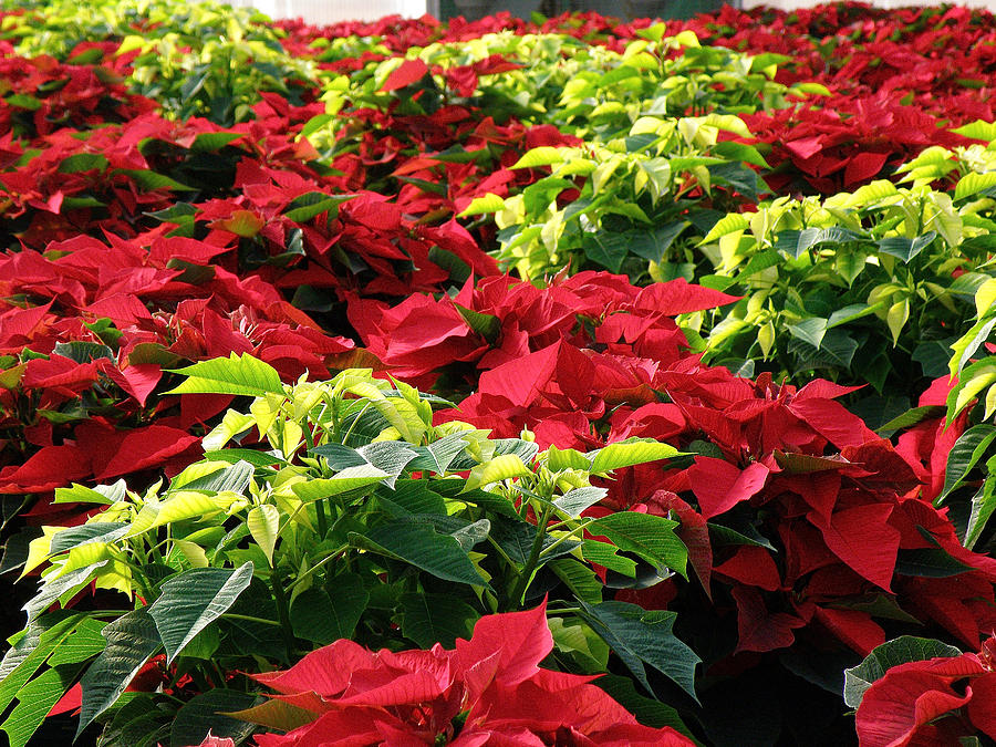 Christmas Color Photograph