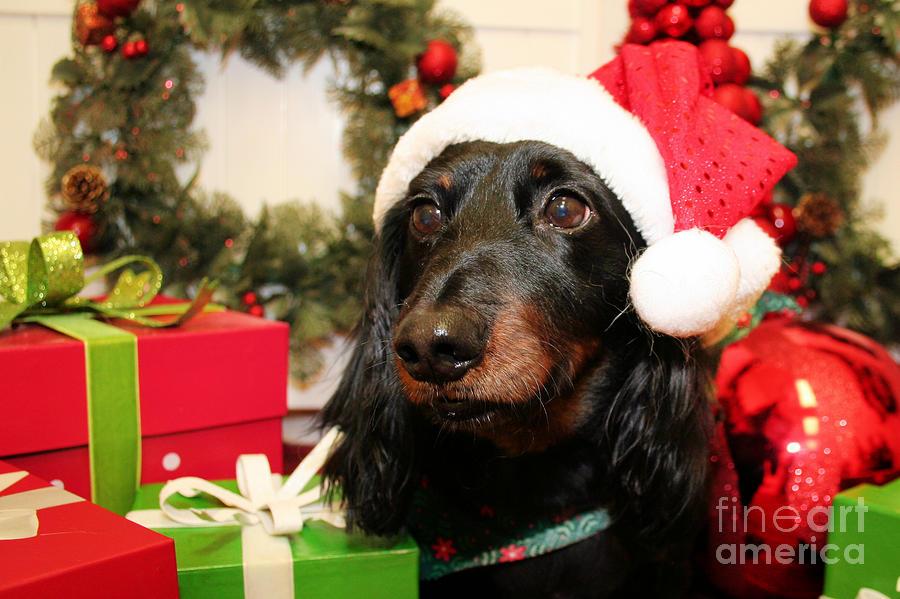 Christmas Portraits - Dachshund by Renae Laughner