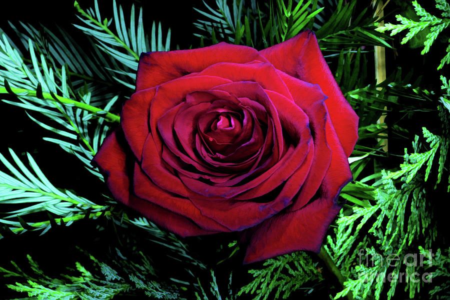 Christmas Rose Digital Art