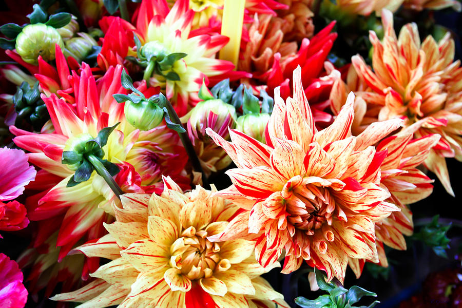 Chrysanthemum Blooms Photograph