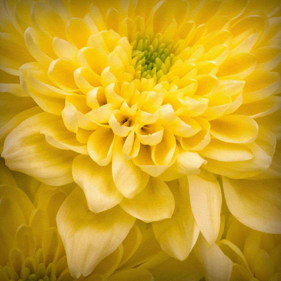 Chrysanthemum Photograph - Chrysanthemum Flower by Ian Barber
