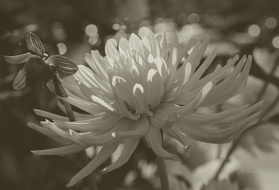 Chrysanthemum In Bloom Photograph  - Chrysanthemum In Bloom Fine Art Print