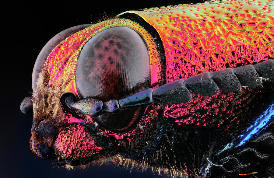 Chrysochroa Buquety Rugicollis Photograph