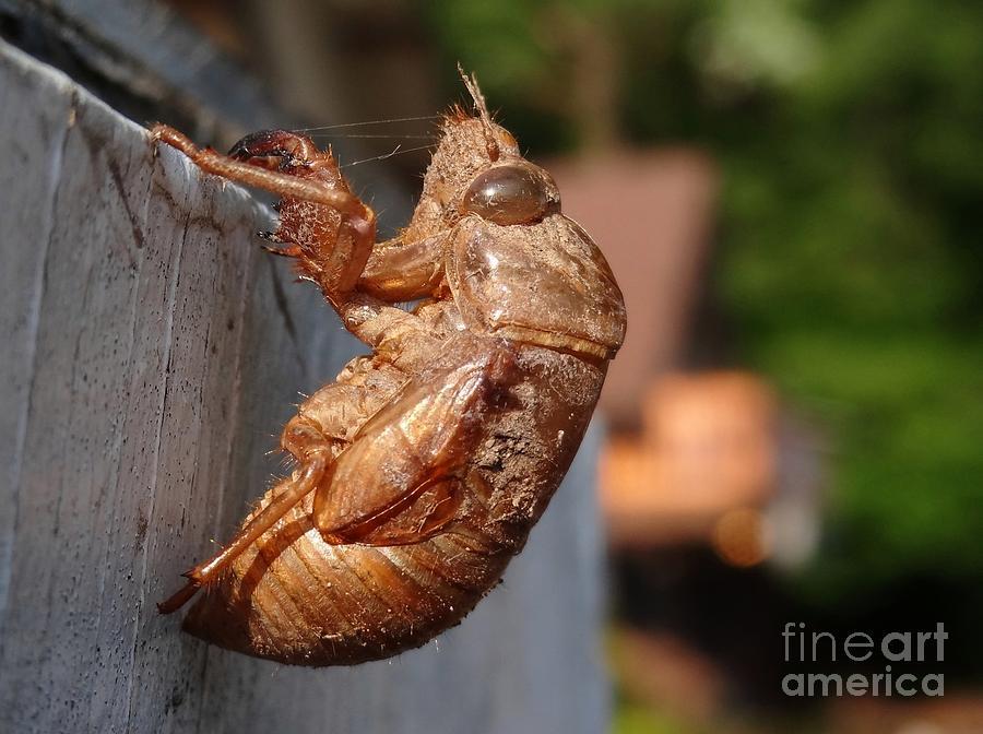 Cicada Shell Photograph by John Velasquez