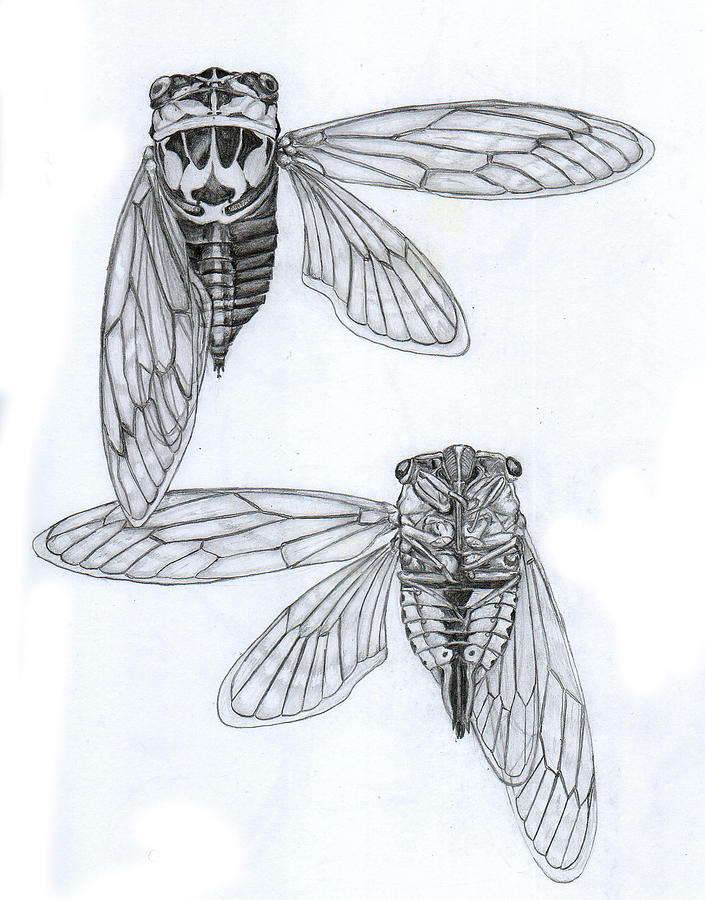Cicada Study by...