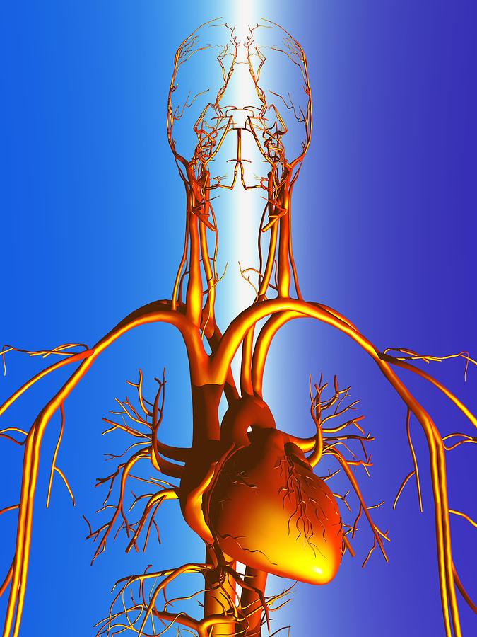 Circulatory System Photograph