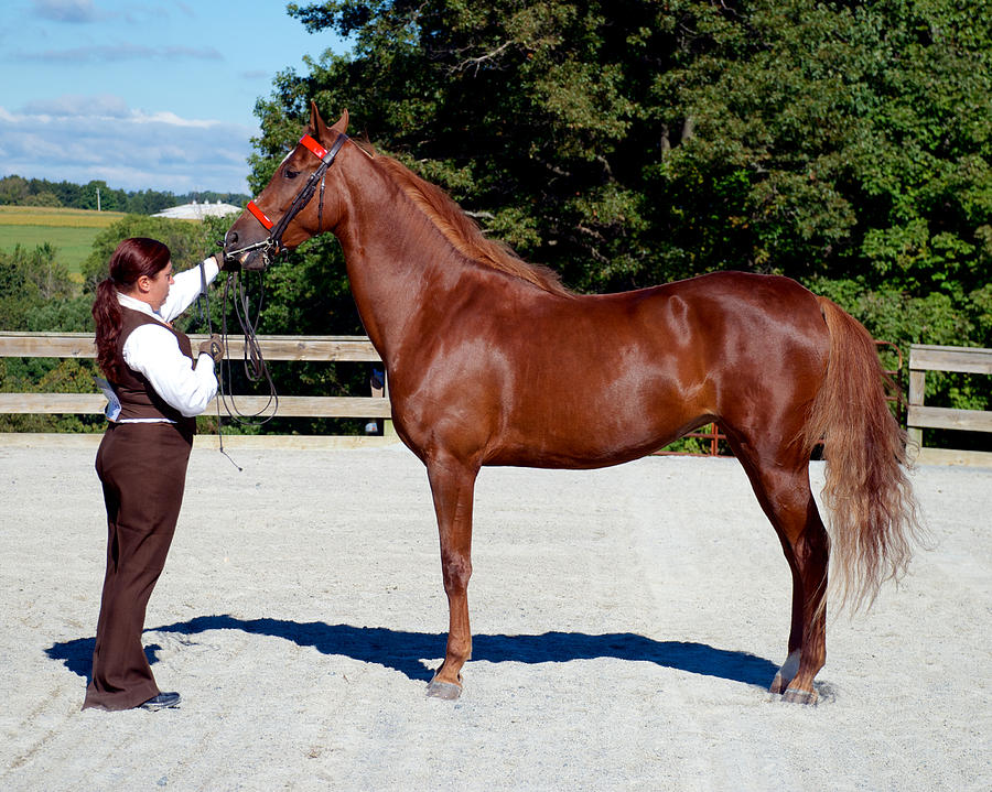 Class 03 In-hand Horse Or Pony English 19 Photograph