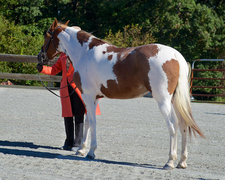 Class 03 In-hand Horse Or Pony English 26 Photograph