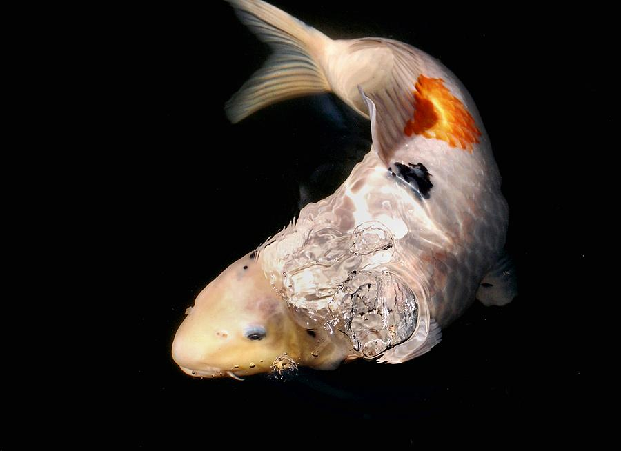 Clearly Rising Koi Digital Art  - Clearly Rising Koi Fine Art Print