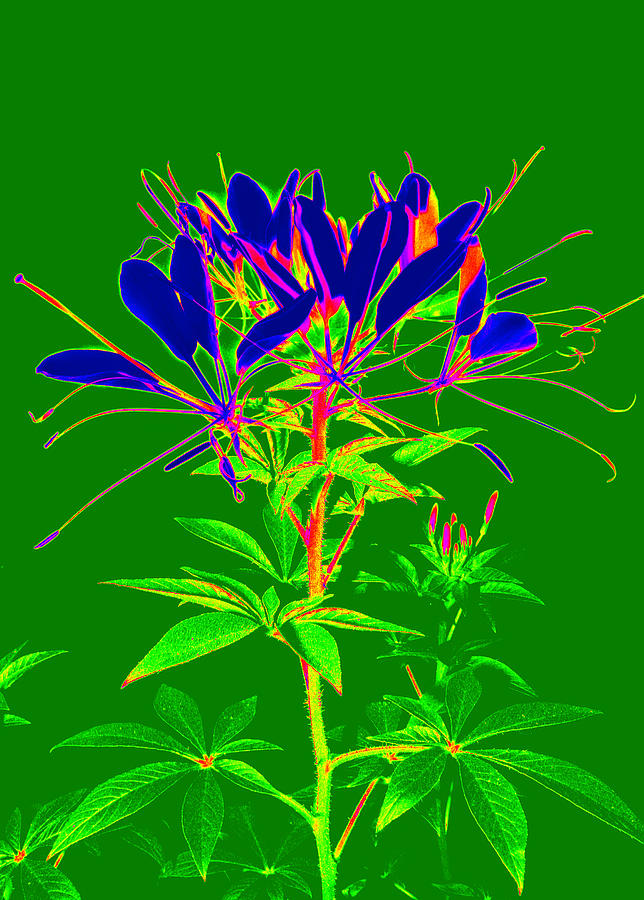 Cleome Gone Abstract Photograph  - Cleome Gone Abstract Fine Art Print