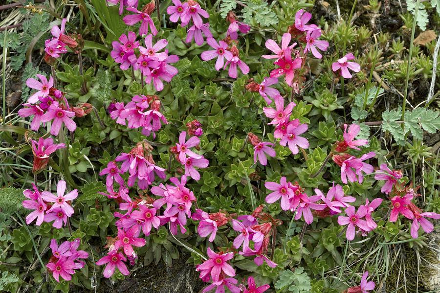 Cliff-primrose Photograph - Cliff-primrose (douglasia Laevigata) by Bob Gibbons