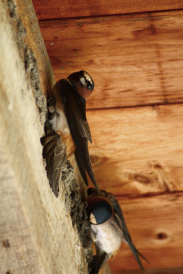 Cliff Swallows 1 Photograph