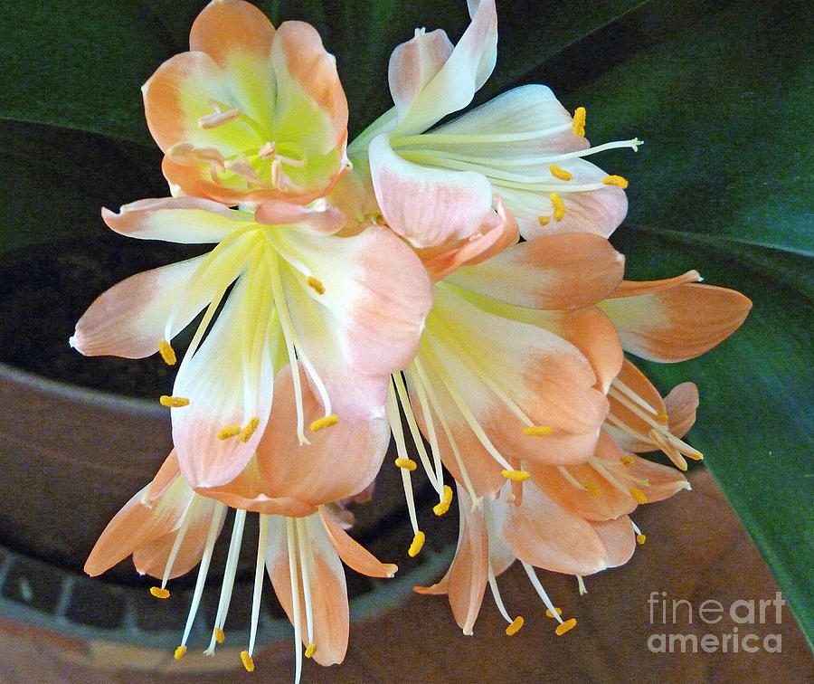 Flower Photograph - Clivia by Louise Peardon