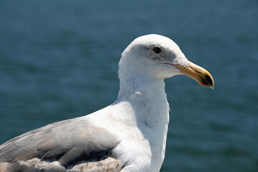 Seagull Photograph - Close Seagull by Wendi Matson