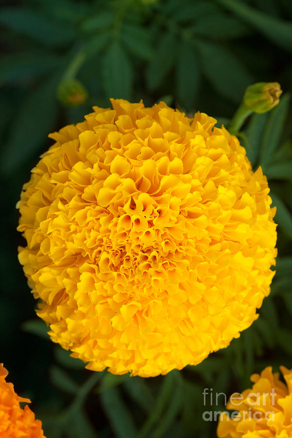 Close-up Marigold Photograph  - Close-up Marigold Fine Art Print