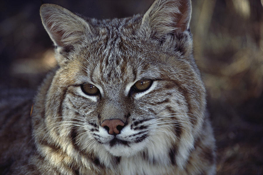 Close-up Of A Bobcat Photograph  - Close-up Of A Bobcat Fine Art Print