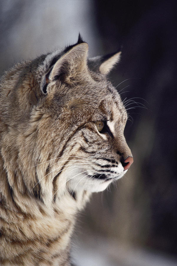 Close-up Of A Bobcat Felis Rufus Photograph  - Close-up Of A Bobcat Felis Rufus Fine Art Print
