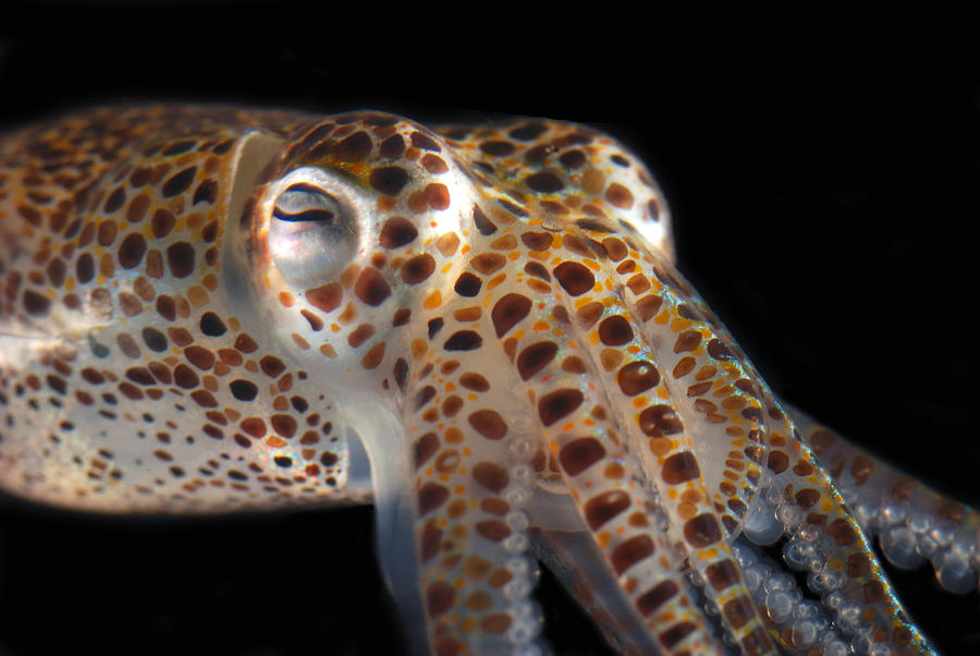 Close Up Of A Dwarf Cuttlefish, Sepiola Photograph