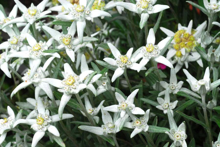 A la luz de la luna. - Página 2 Close-up-of-a-edelweiss-flowers-anne-keiser