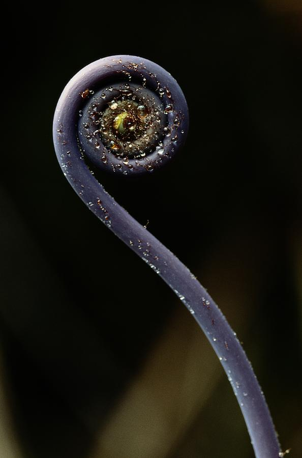 Kamakou Preserve Photograph - Close-up Of A Hapuu Fiddlehead, Which by Chris Johns