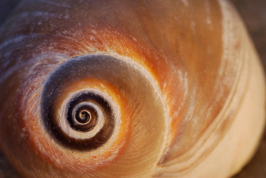 Close Up Of A Moon Snail Shell Showing Photograph  - Close Up Of A Moon Snail Shell Showing Fine Art Print