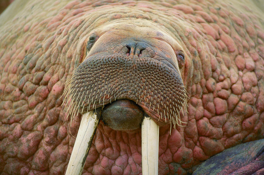 Close Up Of A Walrus Photograph  - Close Up Of A Walrus Fine Art Print
