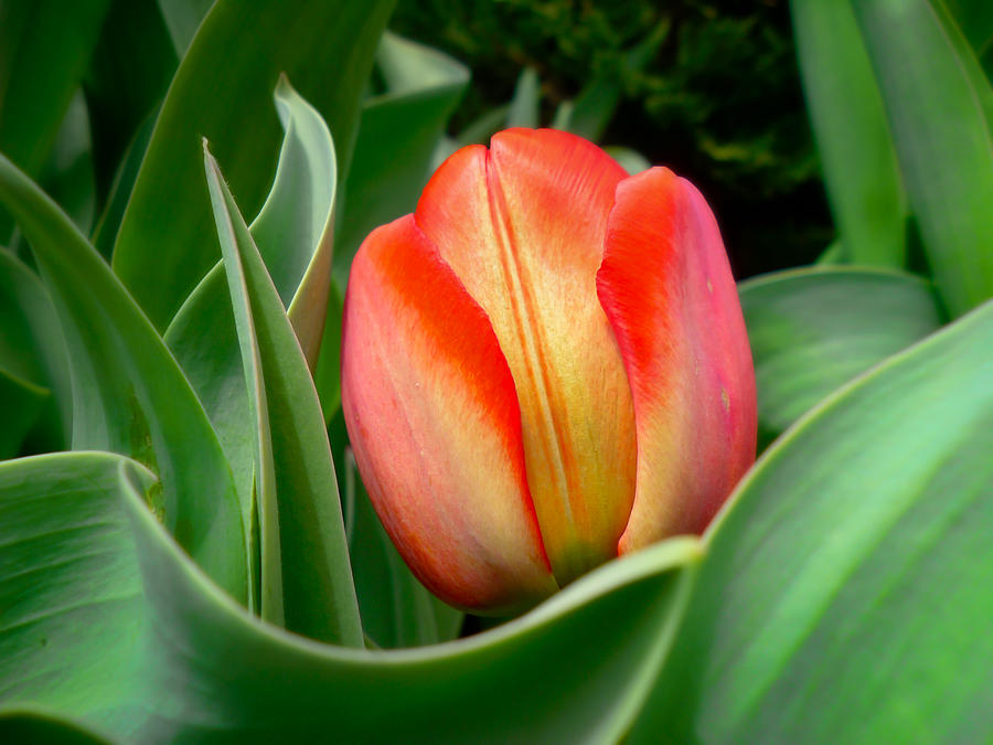 Close-up Of A Young Red Tulip Bloom With Green Leaves In A Spring Flower Bed Photograph  - Close-up Of A Young Red Tulip Bloom With Green Leaves In A Spring Flower Bed Fine Art Print