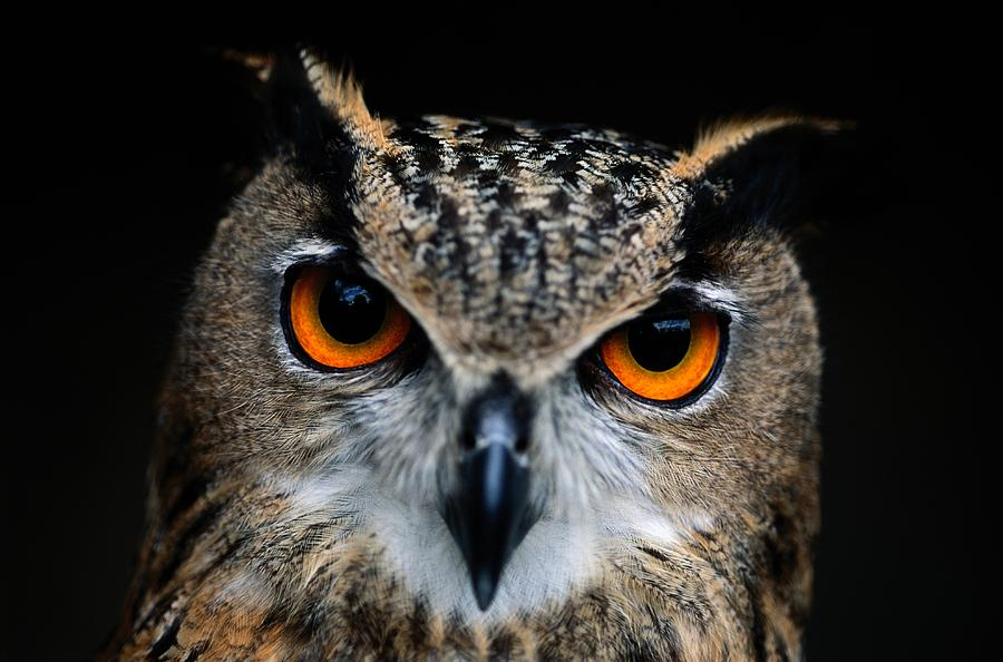 Close Up Of An African Eagle Owl Photograph  - Close Up Of An African Eagle Owl Fine Art Print