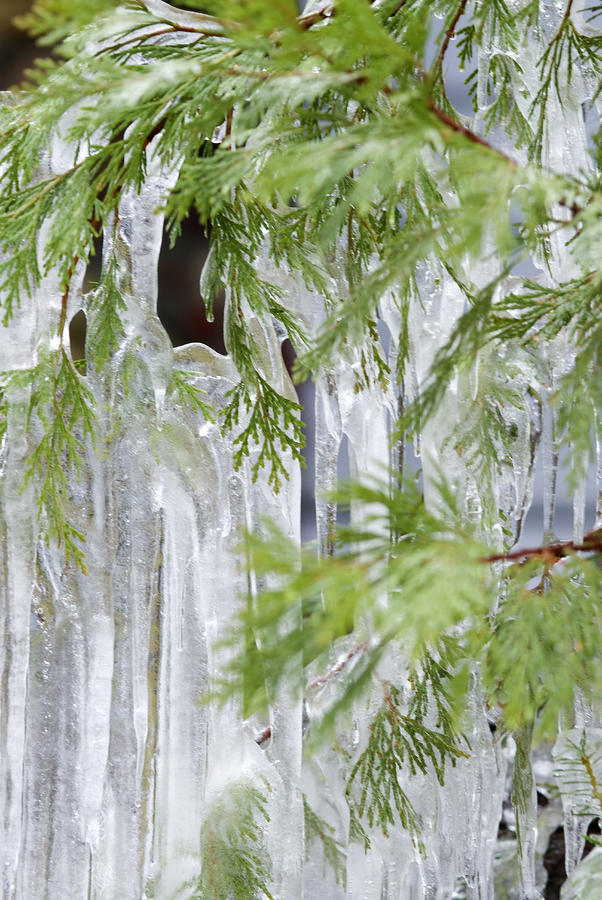 Close-up Of Ice Covered Tree Branch Photograph