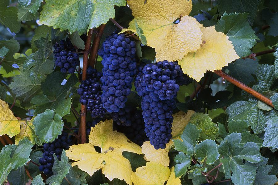 Close-up Of Ripe, Wine Grapes And Leaves Photograph
