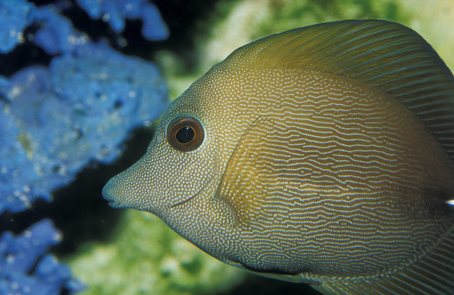 Close up of scopus brown tang fish head photograph by for Fish head app