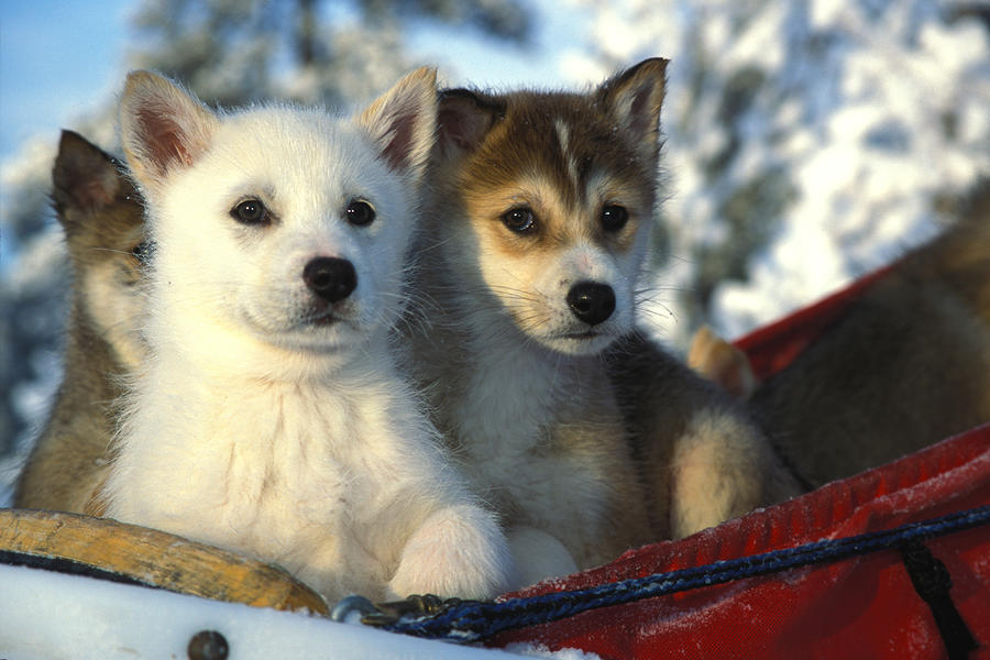 Close Up Of Siberian Husky Puppies Photograph