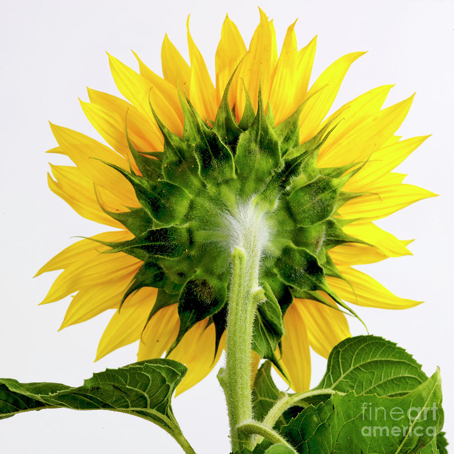 Close Up Of Sunflower. Photograph  - Close Up Of Sunflower. Fine Art Print