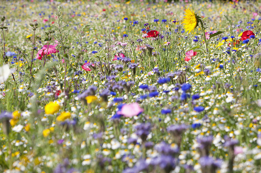 Close Up Of Vibrant Wildflowers In Sunny Field Photograph