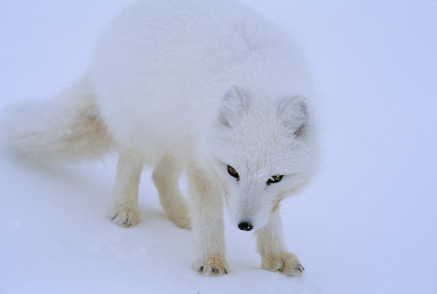 Close Up Portrait Of A White Arctic Photograph
