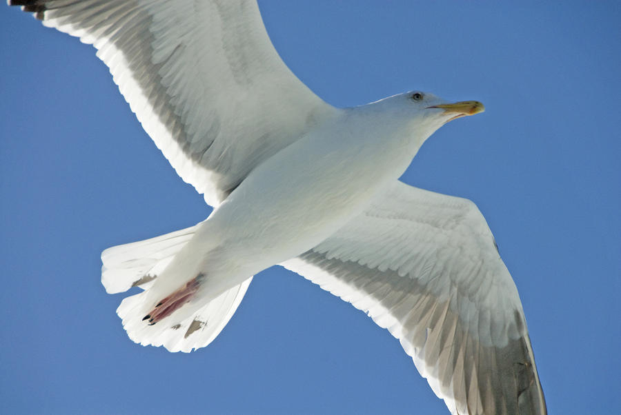 Seagull Photograph - Close View Of A Flying Seagull by Stephen Sharnoff