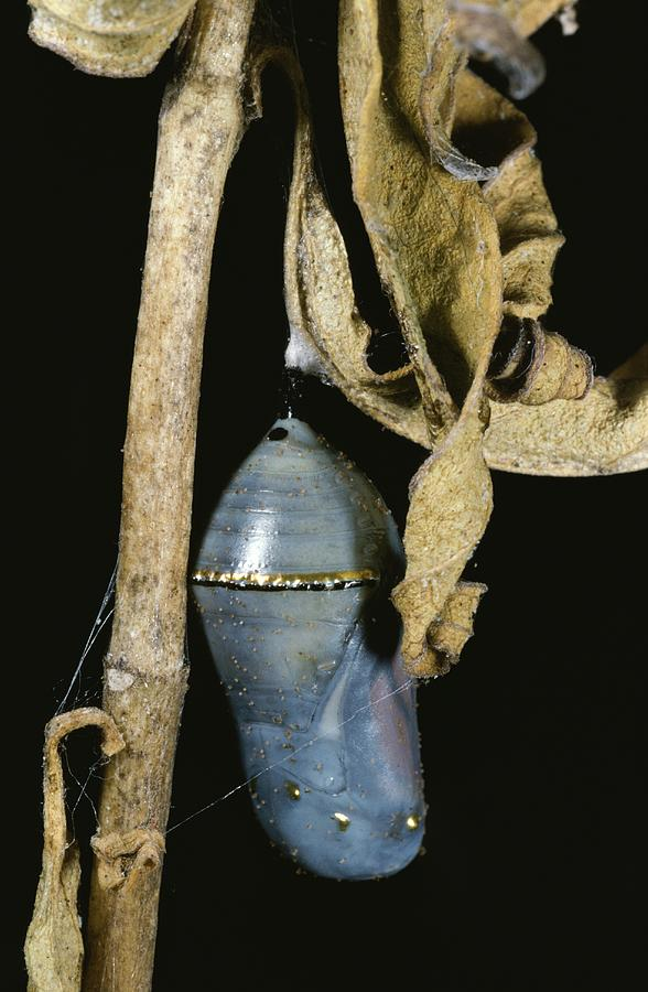 Close View Of A Monarch Chrysalis Photograph  - Close View Of A Monarch Chrysalis Fine Art Print