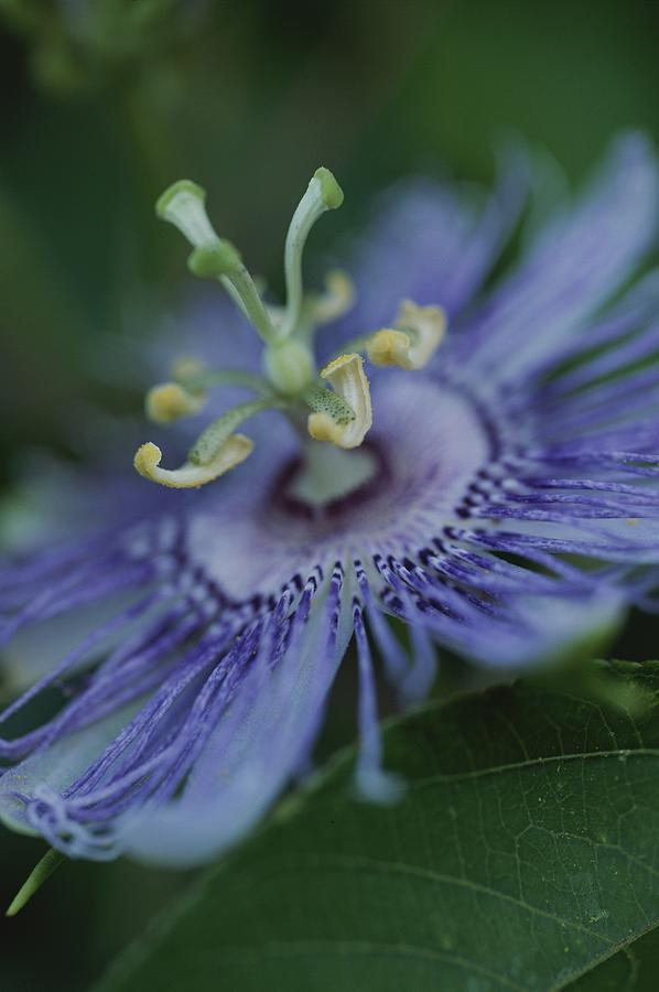 Close View Of A Passion Flower Photograph