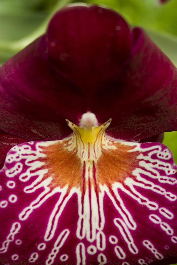Close View Of A Red Orchid Photograph