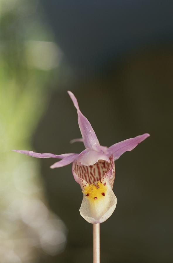 Close View Of Calypso Or Fairy Slipper Photograph  - Close View Of Calypso Or Fairy Slipper Fine Art Print