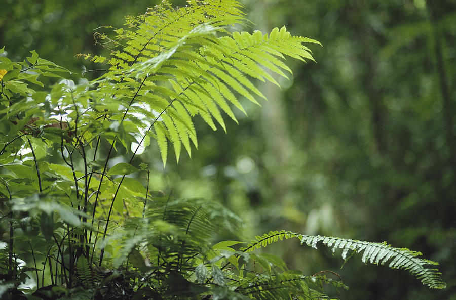 Close View Of Ferns In A Papua New Photograph