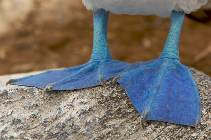 Close View Of The Feet Of A Blue-footed Photograph  - Close View Of The Feet Of A Blue-footed Fine Art Print