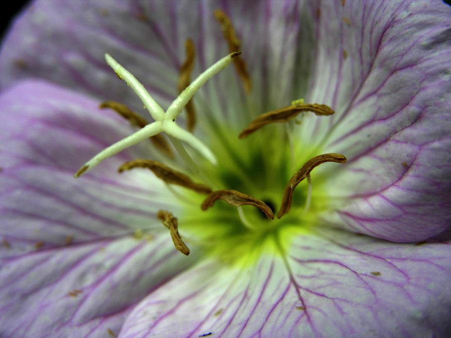 Closeup Of A Showy Evening Primrose Photograph