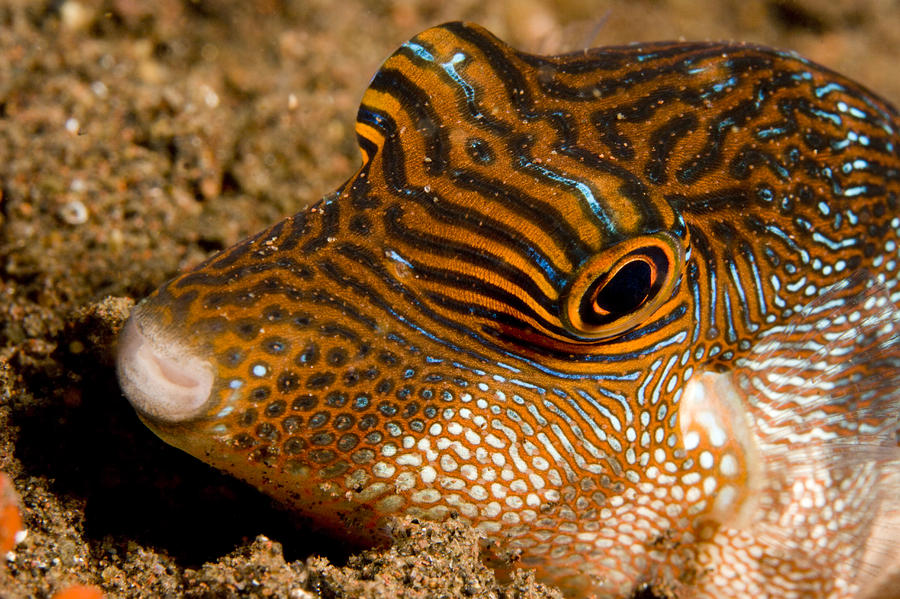 Closeup Of A Spotted Toby Canthigaster Photograph
