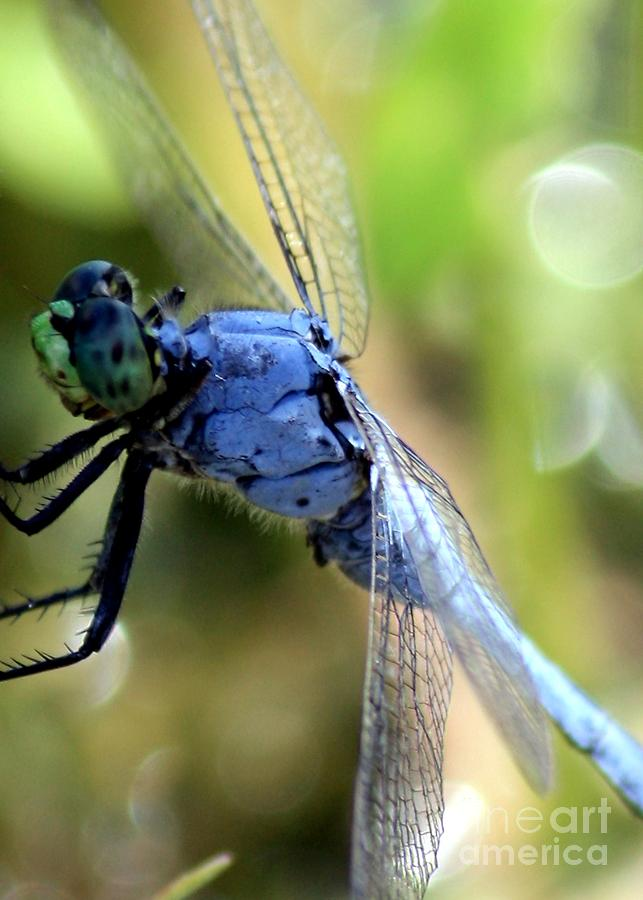 Closeup Of Blue Dragonfly Photograph  - Closeup Of Blue Dragonfly Fine Art Print