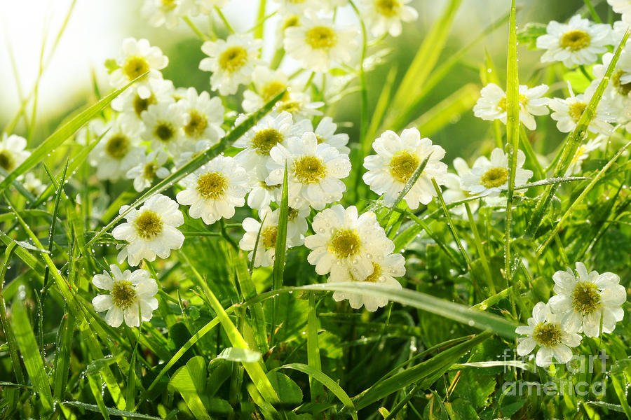 Closeup Of Daisies In Field Photograph