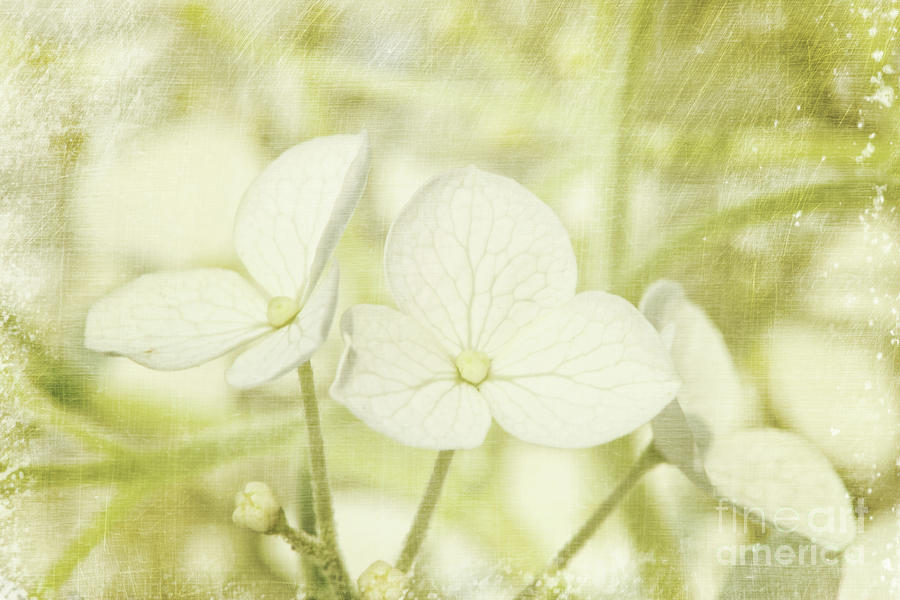 Closeup Of Hydrangea Flowers With Vintage Background Photograph  - Closeup Of Hydrangea Flowers With Vintage Background Fine Art Print