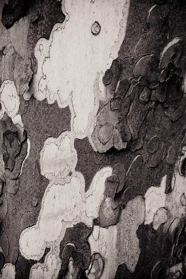 Clouds In The Bark Photograph  - Clouds In The Bark Fine Art Print